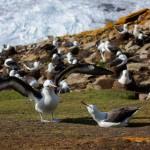 Albatrosser fra Falklandsøerne