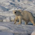 Isbjørn efter svømmetur