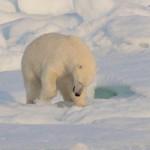 Isbjørn graver efter sæl