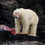 Isbjørn på hvalrosådsel