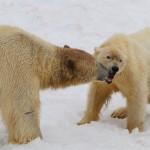 Isbjørnemøde