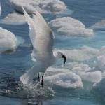 Ismåge fanger fisk