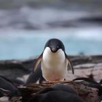 Pingvin fra Antarktis