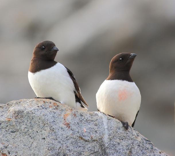 fuglene i Arktis